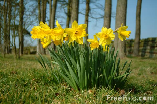 Picture of Daffodils, Spring 2003 - Free Pictures - FreeFoto.com